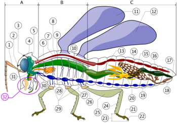 Insect anatomy  A- Head   B- Thorax   C- Abdomen     1. antenna    2. ocelli low    3. ocelli hight    4. compound eye    5. brain (cerebral ganglia)    6. prothorax    7. dorsal artery    8. tracheal tubes (trunk with spiracle)    9. mesothorax   10. metathorax   11. first wing   12. second wing   13. mid-gut (stomach)   14. heart   15. ovary   16. hind-gut (intestine, rectum & anus)   17. anus   18. vagina   19. nerve chord (abdominal ganglia)   20. Malpighian tubes   21. pillow   22. claws   23. tarsus   24. tibia   25. femur   26. trochanter   27. fore-gut (crop, gizzard)   28. thoracie ganglion   29. coxa   30. salivary gland   31. subesophageal ganglion   32. mouthparts